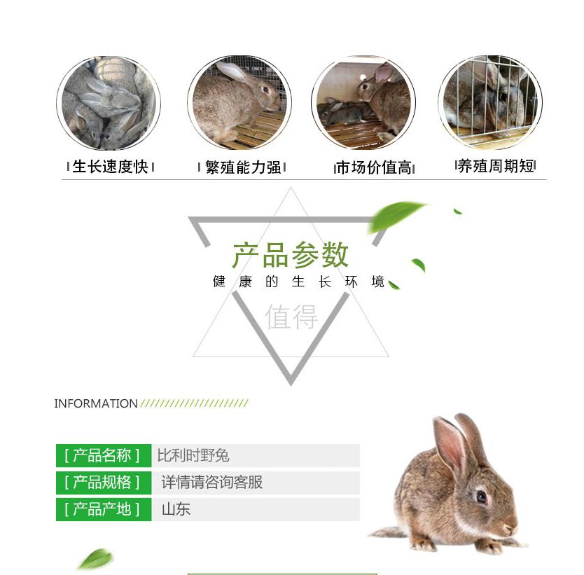 杂交野兔厂家直供 生态比利时杂交野兔厂家 供应批发杂交种兔示例图2