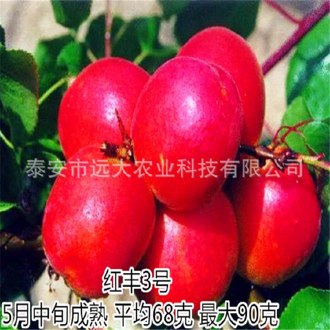 批發優質杏樹苗   成活率98% 1年樹苗 凱特杏苗價格優惠