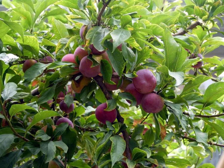 果树苗李子树苗 红布林 南方北方种植嫁接苗新品种盆栽地栽示例图6