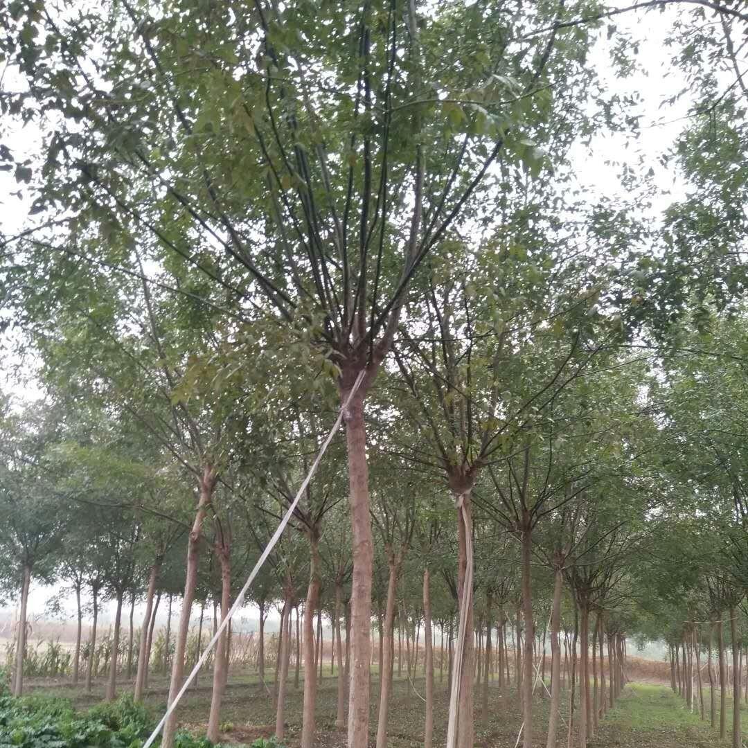 今秋批发5-20公分国槐树,优质10公分国槐现货供应,量大价优。