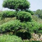 造型羅漢松價格 園林精品造型樹 造型羅漢松價格異形羅漢松現挖現賣 造型獨特更低價格歡迎惠顧