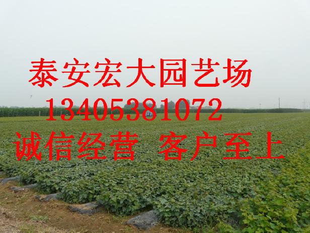 基地现挖可盆栽地栽夏黑葡萄苗 果大籽少夏黑葡萄苗 当年挂果图片