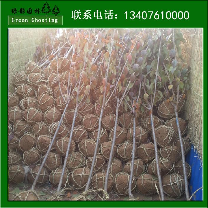 批发直销日本晚樱花 绿化日本晚樱 北方高端行道绿化樱花供应商