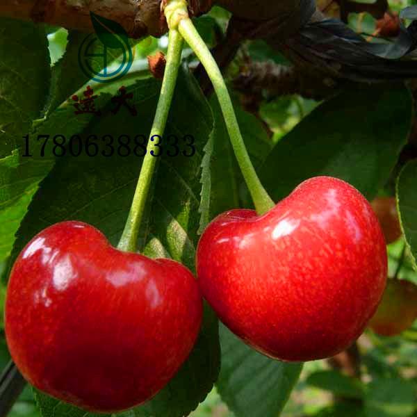 矮化櫻桃樹 價格優惠品種齊全,吉塞拉矮化櫻桃苗,吉塞拉櫻桃 2年結果,紅燈櫻桃,矮化櫻桃苗