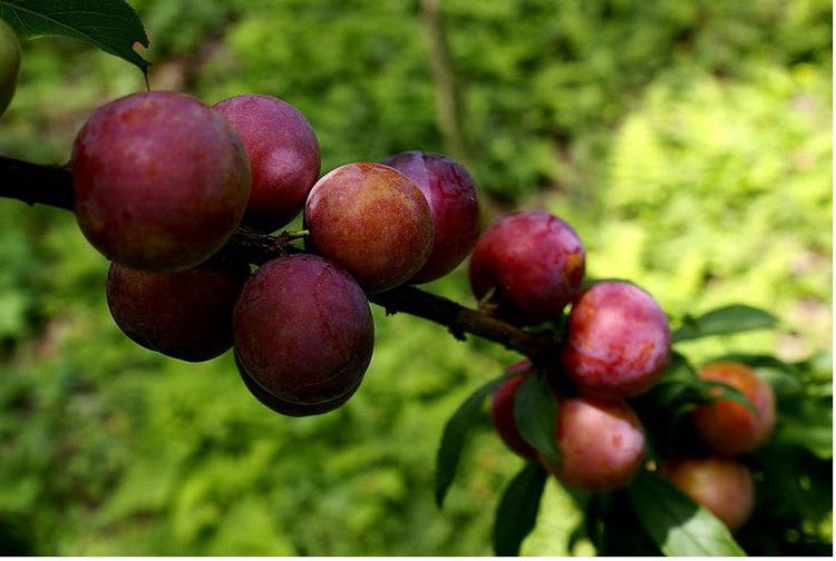 果树苗李子树苗 红布林 南方北方种植嫁接苗新品种盆栽地栽示例图7