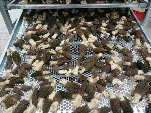 香菇竹蓀烘干機廠家直銷 干果烘箱價格 羊肚菌茶樹菇烘干機圖片