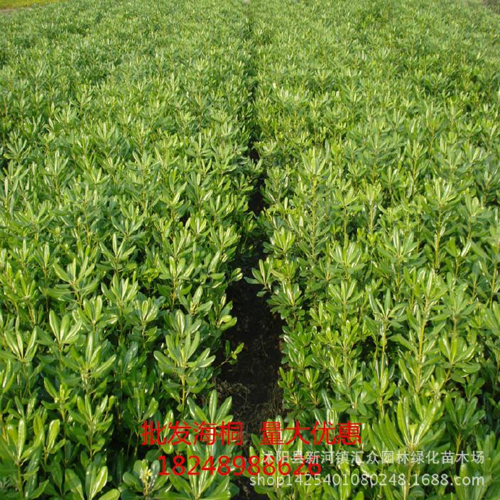 供应海桐工程苗 各规格海桐球 农户直销各种绿化工程苗 质优价廉
