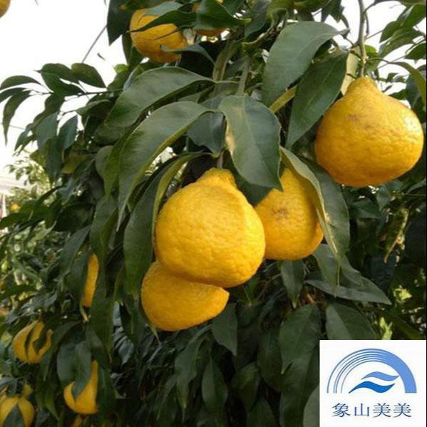 象山綠美人橘子苗 ,優質晚熟雜柑,樹勢強,豐產性好,媛小春橘子苗