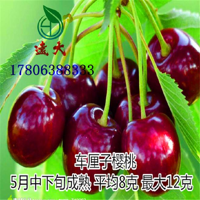 基地嫁接 黑珍珠大櫻桃樹 當年開花結果 吉塞拉櫻桃樹 矮化櫻桃樹