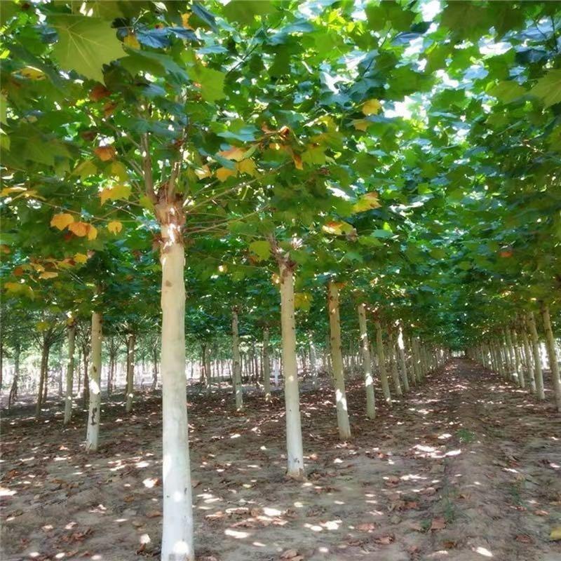 基地直銷速生法桐 5-20公分法桐價格優惠 懸鈴木 苗圃拆遷低價出售