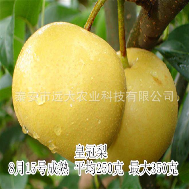 基地直销高成活率 晚秋黄梨树 低价销售梨树 秋月梨树  梨树