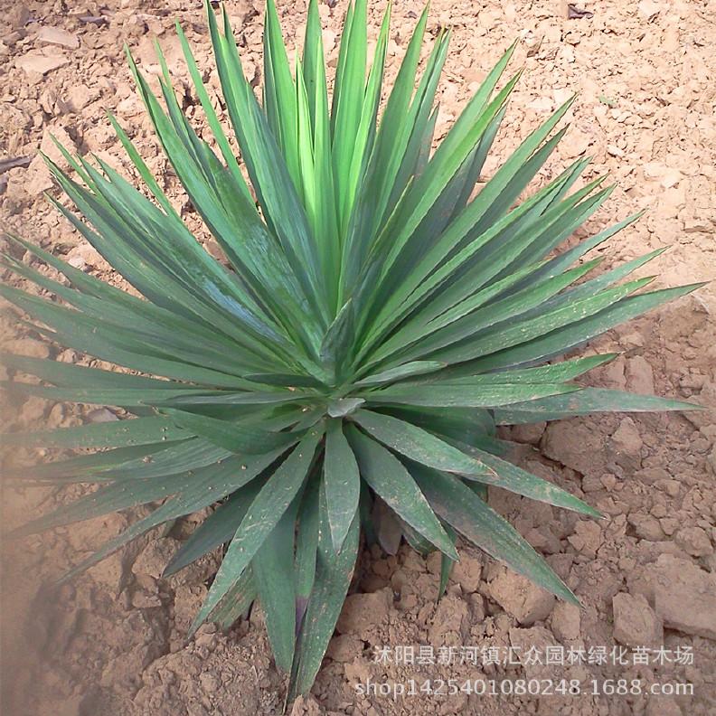产地直销绿化工程苗剑麻 丝兰 低价出售各种绿化工程苗 质优价廉