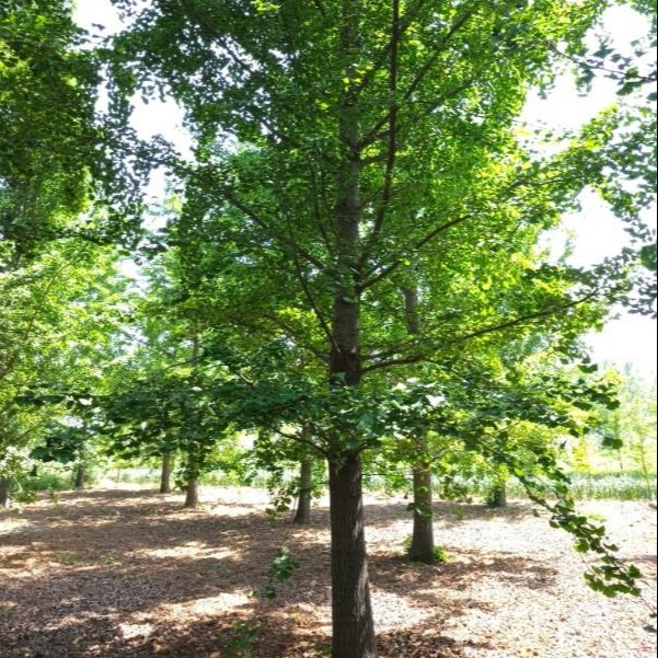 直生1-25-30-40公分银杏树价格