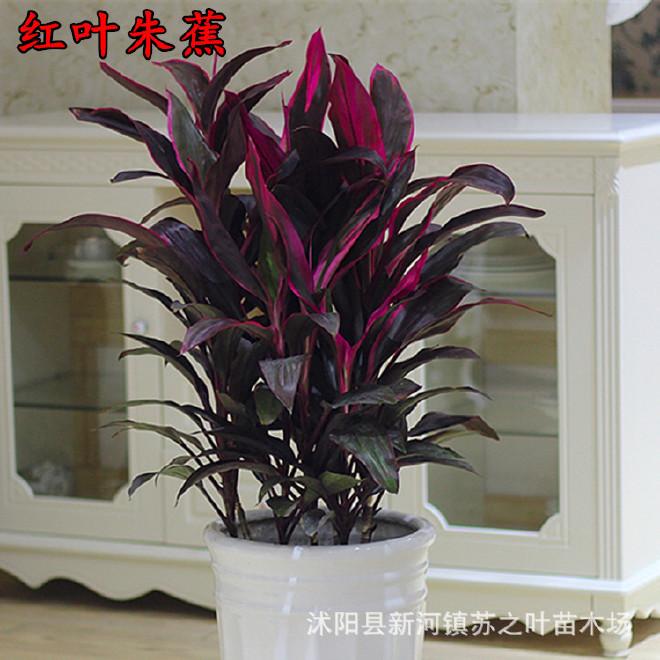 红叶朱蕉批发红心朱蕉桌面盆栽花卉紫叶铁树办公室内彩叶观叶植物