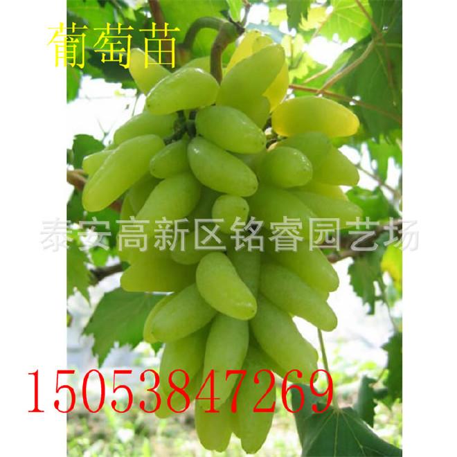 直销果树种苗 夏黑葡萄苗 美国红提葡萄苗 当年夏黑葡萄苗价格图片