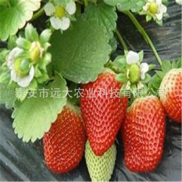 基地批发章姬草莓当年结果 成活率高 适合南北方种植章姬草莓