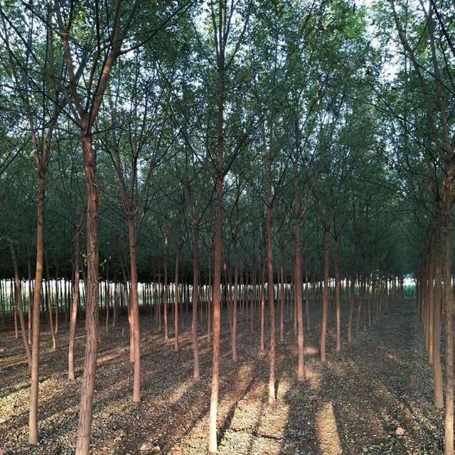 山東泰安國槐樹基地出售1-10公分國槐樹,國槐樹小苗,國槐