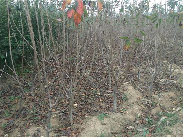 吉塞拉樱桃苗价格 润泽农业吉塞拉樱桃苗批发基地 新品种吉塞拉樱桃树苗示例图6