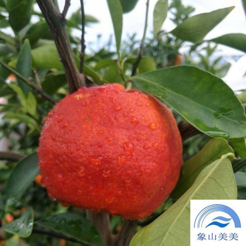 柑橘新品种媛红椪柑,一年生嫁接苗,象山基地直发