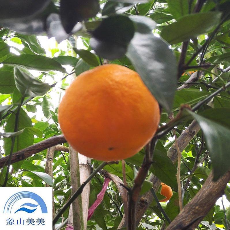 明?#21344;?#27224;子树苗 ,柑桔新品种,品质高耐储运,象山基地直发