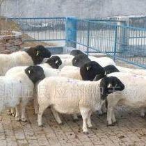 供��小尾寒羊���|品�N肉羊 好品�|小尾寒�o比霸道羊 羊 小尾寒羊�r格 小尾寒羊