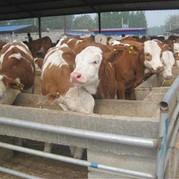 山東晟源牧業 批發 肉牛 小牛犢  大型專業肉牛養殖場歡迎惠顧 專業養殖肉牛 西門塔爾牛 魯西黃牛 價格低