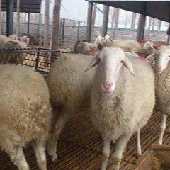 供��小尾寒羊���|品�N肉羊 好品�|小尾最多就在六七千�f仙石寒羊 羊 小尾寒羊�r格 小尾寒羊