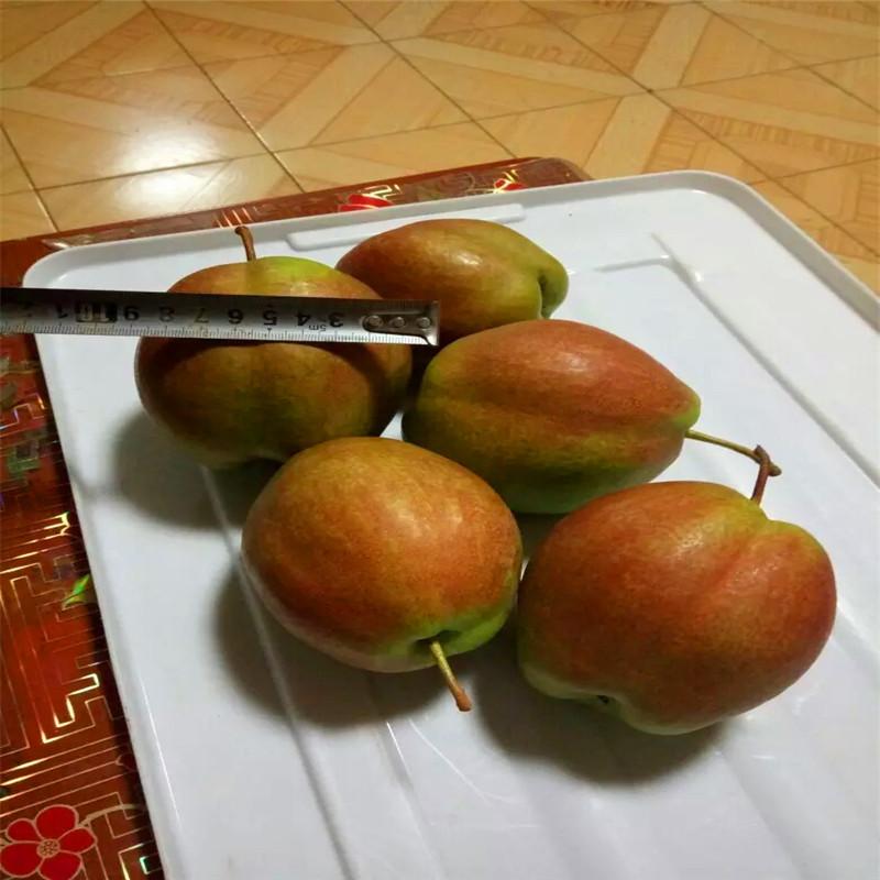 新品种金果梨树苗出售 基地批发柱状梨树苗 晚秋黄梨树苗先挖先买示例图7
