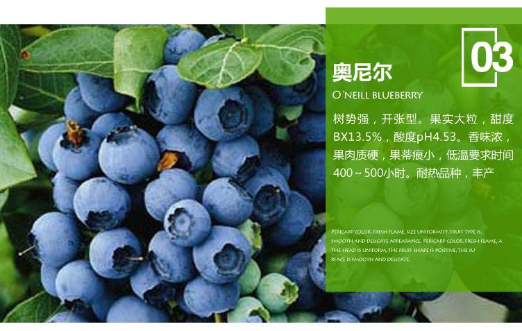 藍豐藍莓苗 博郡農業基地批發適合南方種植3年藍莓樹苗 奧尼爾藍莓 薄霧藍莓苗 提供技術示例圖6