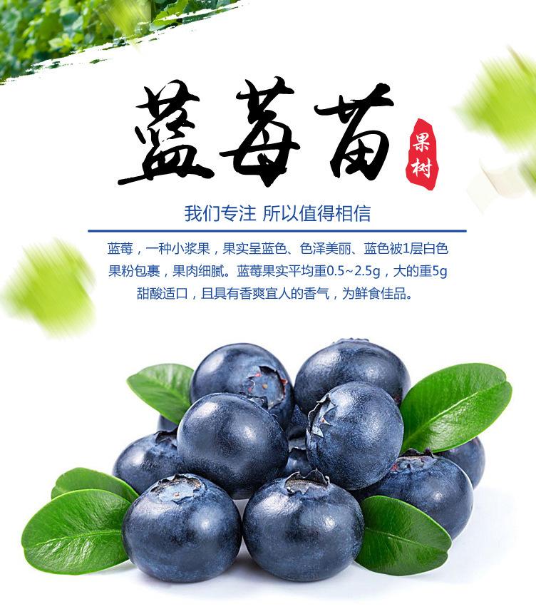 藍豐藍莓苗 博郡農業基地批發適合南方種植3年藍莓樹苗 奧尼爾藍莓 薄霧藍莓苗 提供技術示例圖2