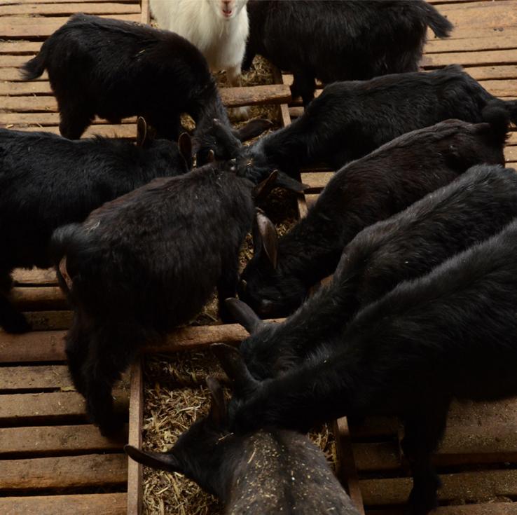 正宗纯种黑山羊 价格实惠羊 纯种黑山羊养殖基地 欢迎选购好品质黑山羊 好品质肉羊 纯种肉羊示例图3