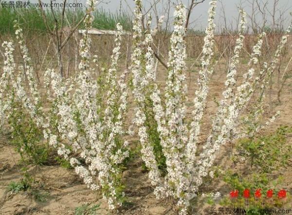 欧李种子发芽出苗开花图片
