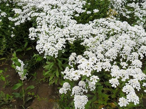蜂室花种子发芽出苗开花图片