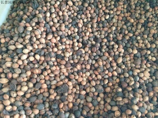 李子种子图片