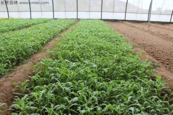茼蒿种子发芽出苗图片