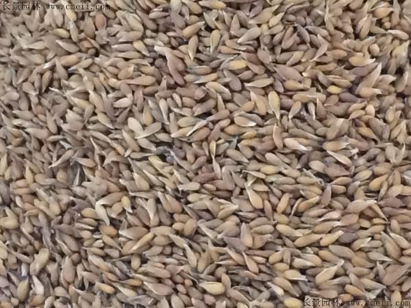 大叶油草种子图片