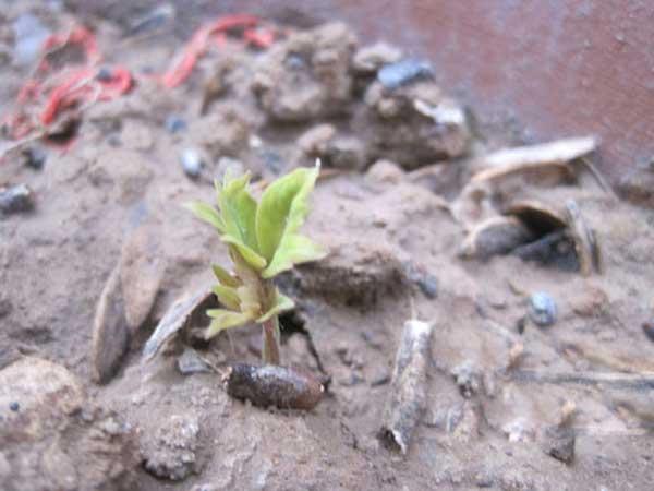 爬山虎种子发芽出芽图片