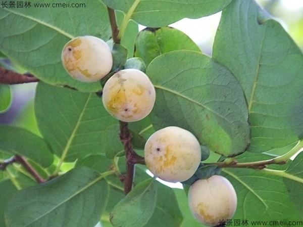 软枣种子发芽出苗图片