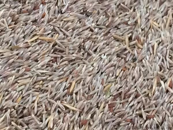 马尼拉草坪种子图片