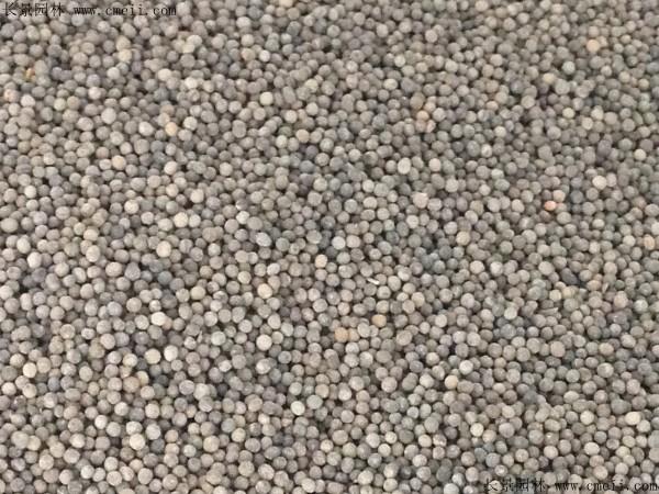花菱草种子图片