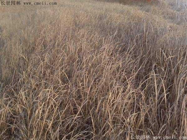 披碱草种子图片发芽出苗