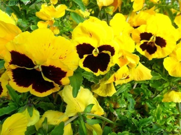 三色旋花种子多少钱一公斤
