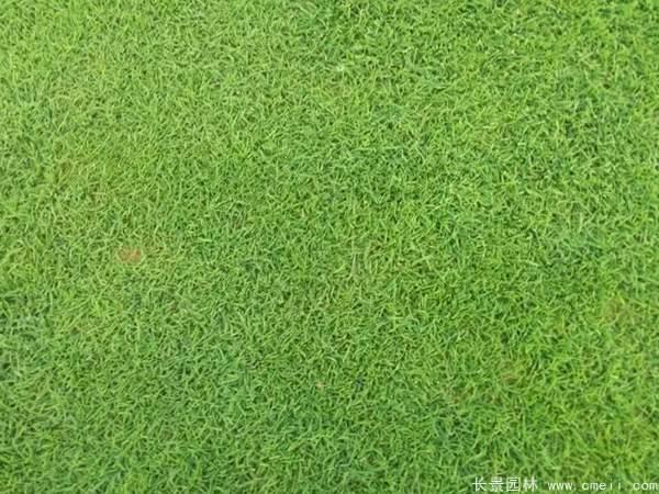 马尼拉草坪种子发芽出苗图片