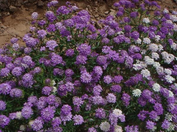 蜂室花播种后几天发芽