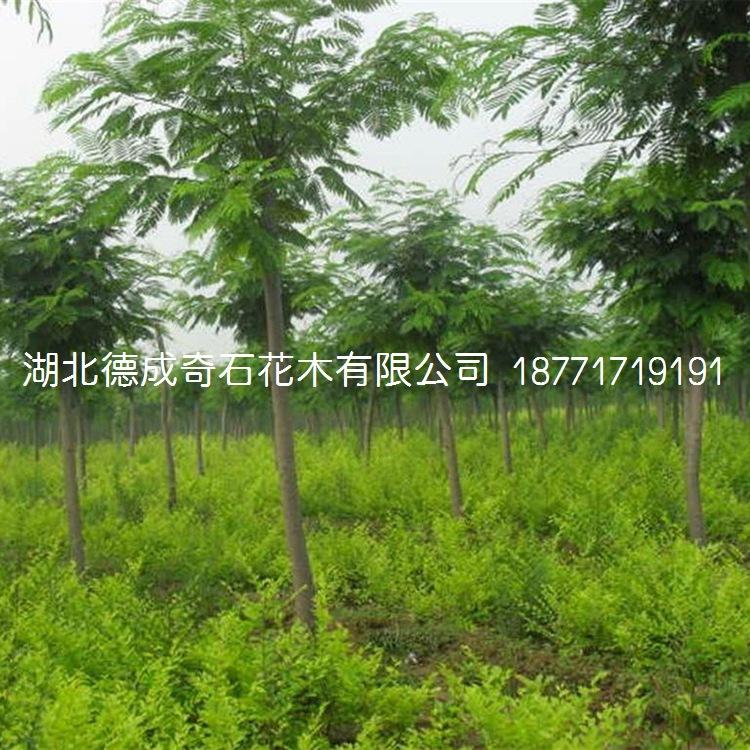 2018年直销楠树苗行道工程绿化树苗新品上市示例图1