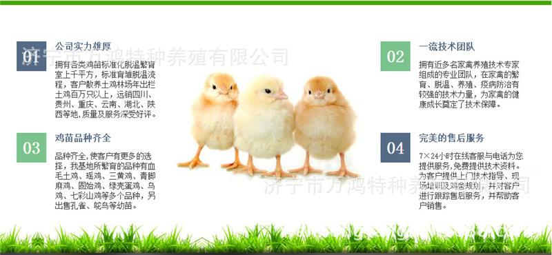 【贵妃鸡出售】贵妃鸡出售价格_贵妃鸡出售批发_贵妃鸡示例图28
