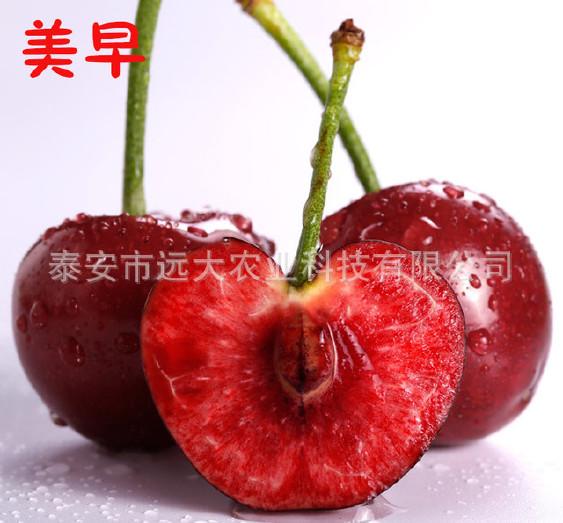 优质红灯樱桃树 基地大量批发嫁接樱桃树 品种齐全 俄八樱桃苗示例图8