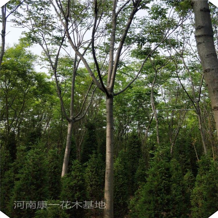 康一 14公分黃山欒樹出售 河南欒樹基地 價格低質量好