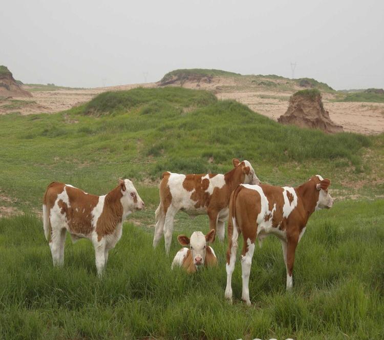 肉牛犊肉牛养殖批发改良肉牛犊 较实惠肉牛犊价格厂家直销肉牛大型肉牛养殖场牛好品质肉牛示例图1