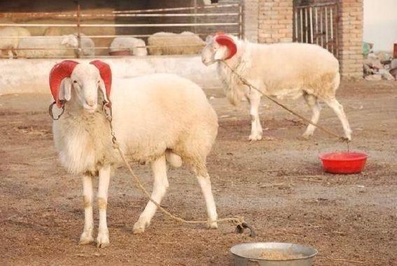 厂家直销肉羊现货小尾寒羊 低价供应小尾寒羊优质品种肉羊 好品质小尾寒羊 羊 纯种肉羊示例图4